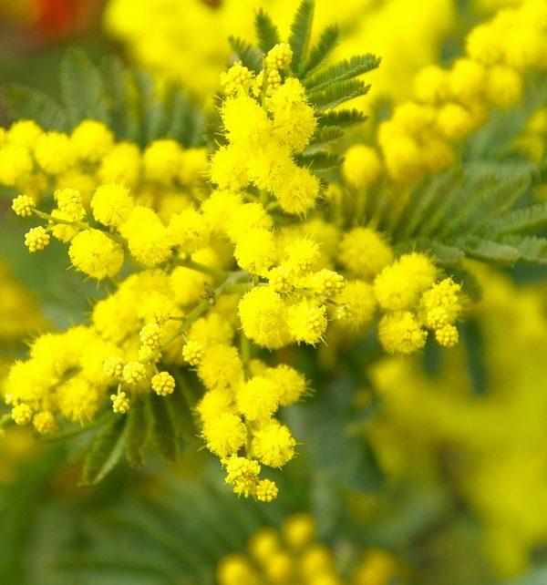 mimosa fiore tipico della festa della donna